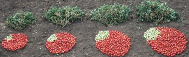 tomat rekayasa genetik