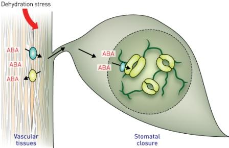 Sebagai respon terhadap kekeringan, ABA disintesis di daun urat lalu diangkut ke dekat sel 'penjaga' oleh transporter khusus. (Direproduksi dari Ref. 1 © 2013 Y. Osakabe et al.)
