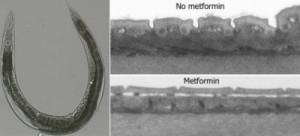 Cacing gelang yang diberi metformin menunjukkan penurunan ukuran yang sangat terbatas dan tidak ada kerutan. (Credit: Copyright Wouter De Haes)