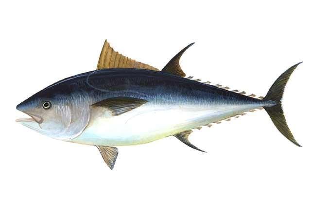 Ikan, sumber asam lemak omega-3. (Photo: NOAA)