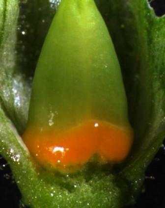 Ovarium (bakal buah) dan nektari pada bunga Nicotiana