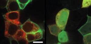 Toll-like receptor 2 biasanya terlokalisasi pada membran sel (garis hijau, panel kiri). Namun, protein KSHV mempengaruhi distribusi normalnya (hijau terdifusi, panel kanan). Retikulum endoplasma ditampilkan dalam warna merah. (Credit: Helmholtz Centre for Infection Research)