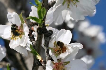 Seekor lebah penambang (kiri) dan lebah madu Eropa mengunjungi bunga almond di California Utara. (Credit: Albert-Ludwigs-Universität Freiburg)