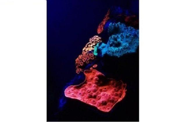 karang, fluoresensi pigmen