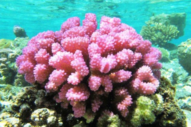 karang, terumbu karang