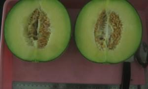 melon tacapa, UGM