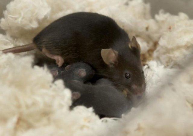 menyusui, tikus