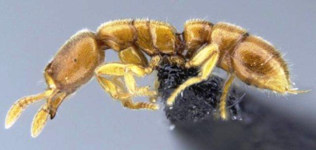 semut, Prionopelta subtilis