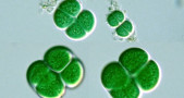 Sianobakteri, Synechocystis sp.