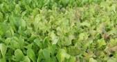 selada, pertanian, gas rumah kaca