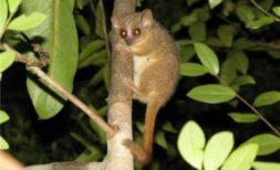 lemur tikus, madagaskar, Microcebus ganzhorni